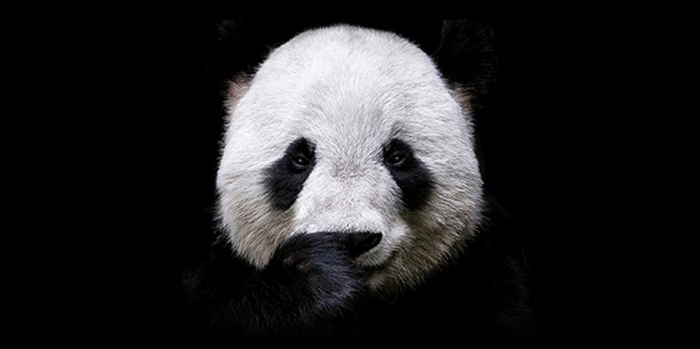 AnimalTruth-Panda